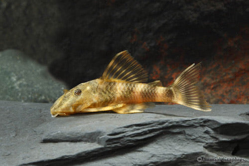 Clown Pleco L103