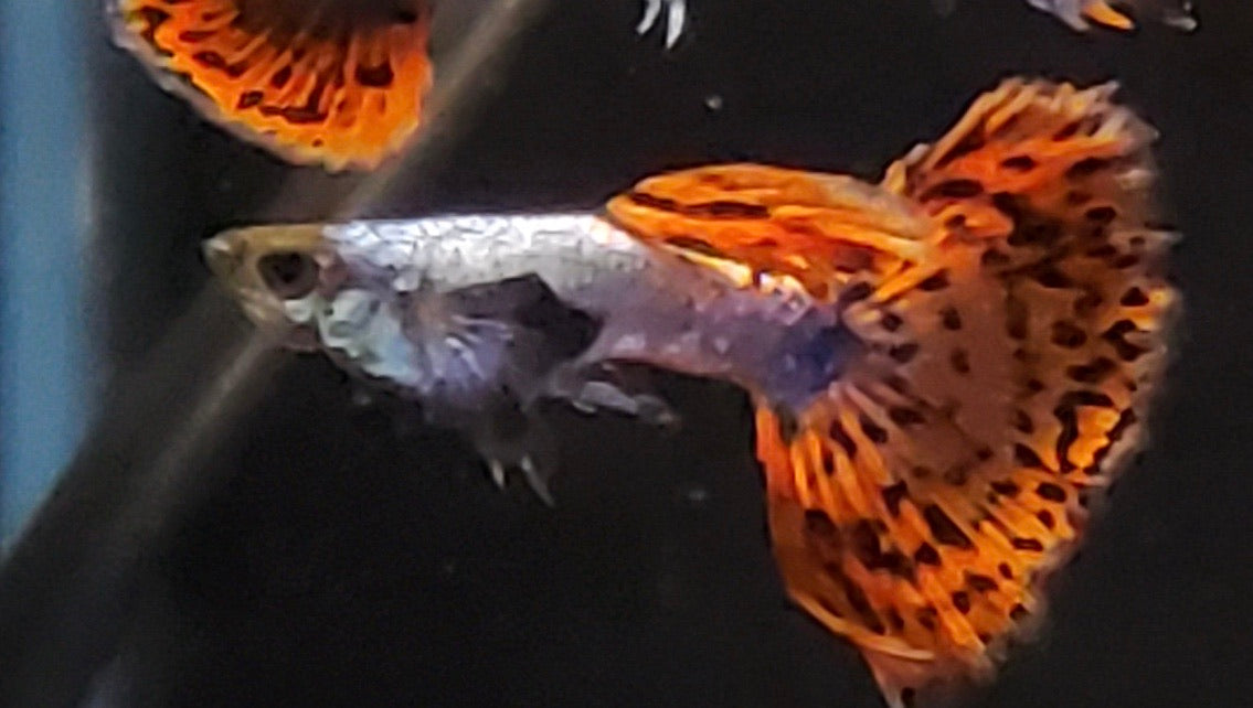 Dumbo Eared Mosaic Dragon Guppy Male