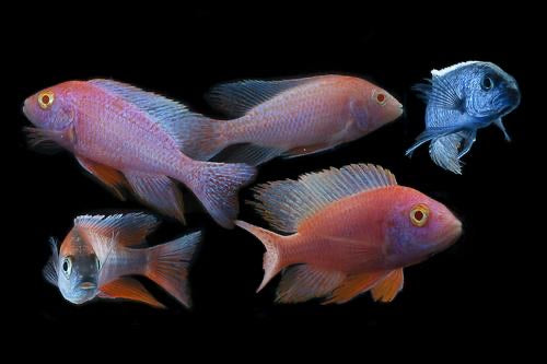 Assorted Female Peacock Cichlid