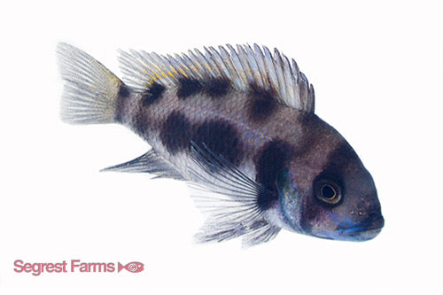 Black Widow Frontosa Cichlid