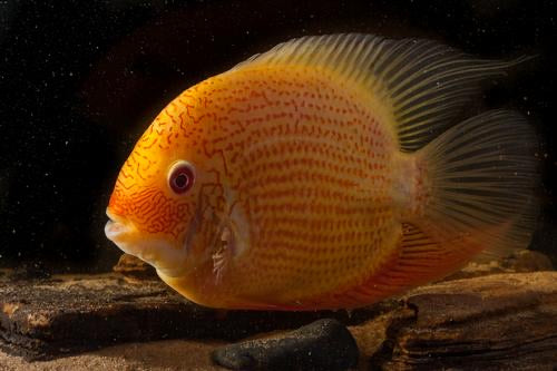 Red Spot Gold Severum