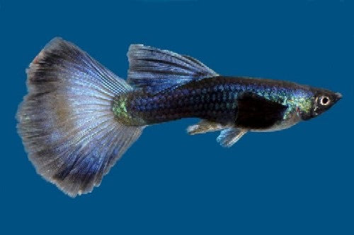 Blue Moscow Delta Guppy Male