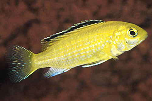 Lemon Yellow Labido Caeruleus Cichlid