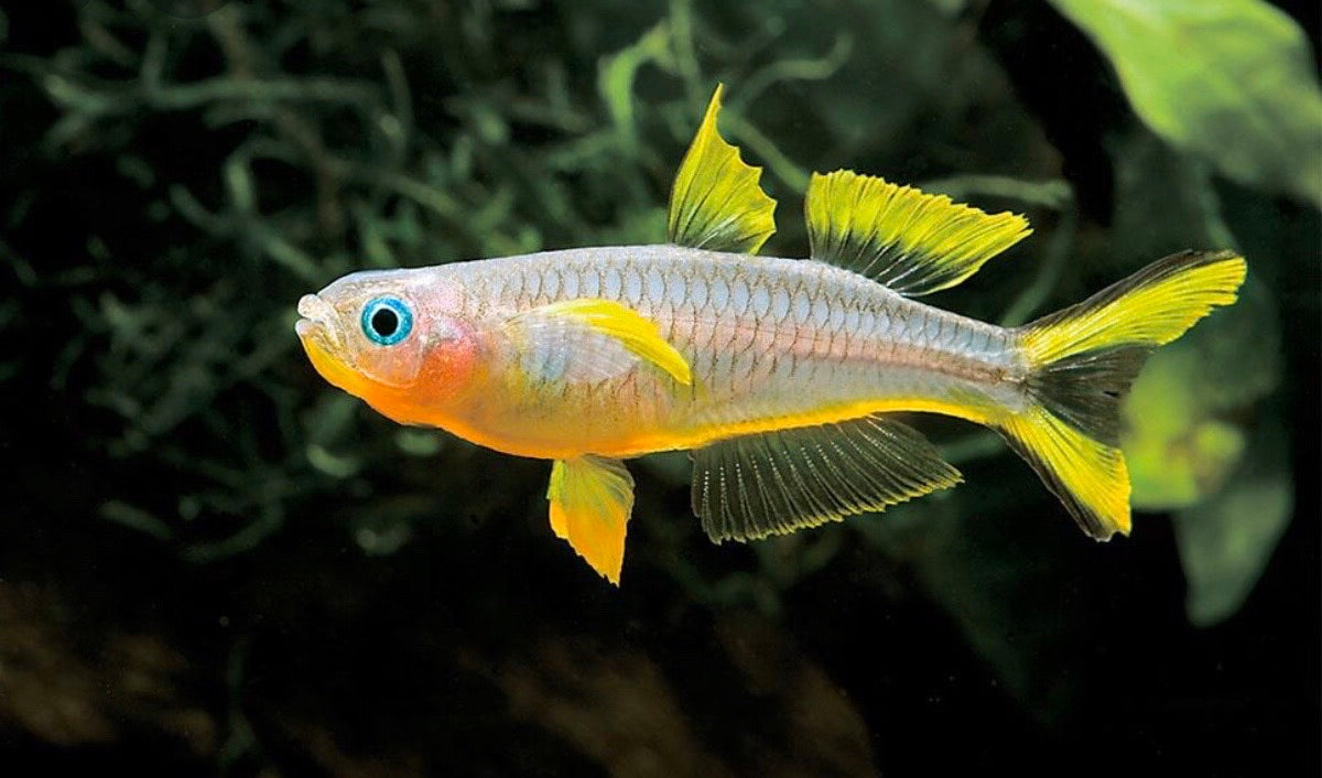 Furcata Rainbowfish