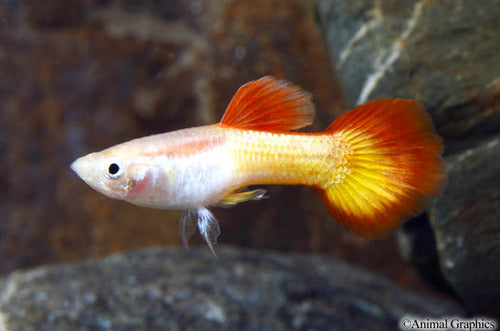 Tequila Sunrise Guppy Male