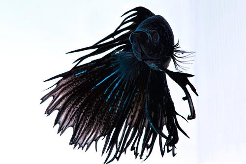 Black Orchid Crowntail Betta Male