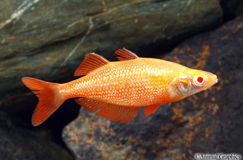 Albino Orange Millennium Rainbow