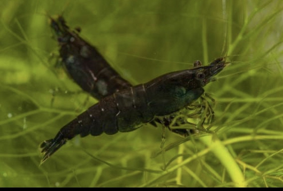 Black Carbon Shrimp