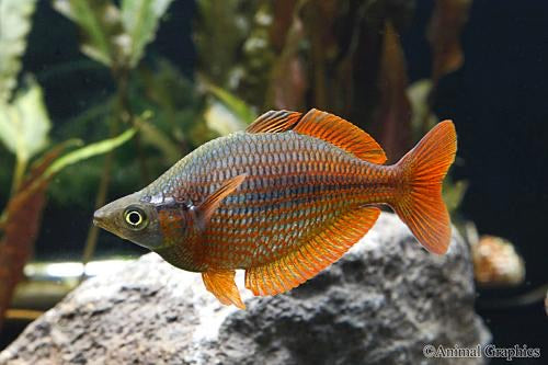 Dorityi Rainbowfish