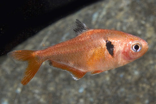 Coral Red Serpae Tetra