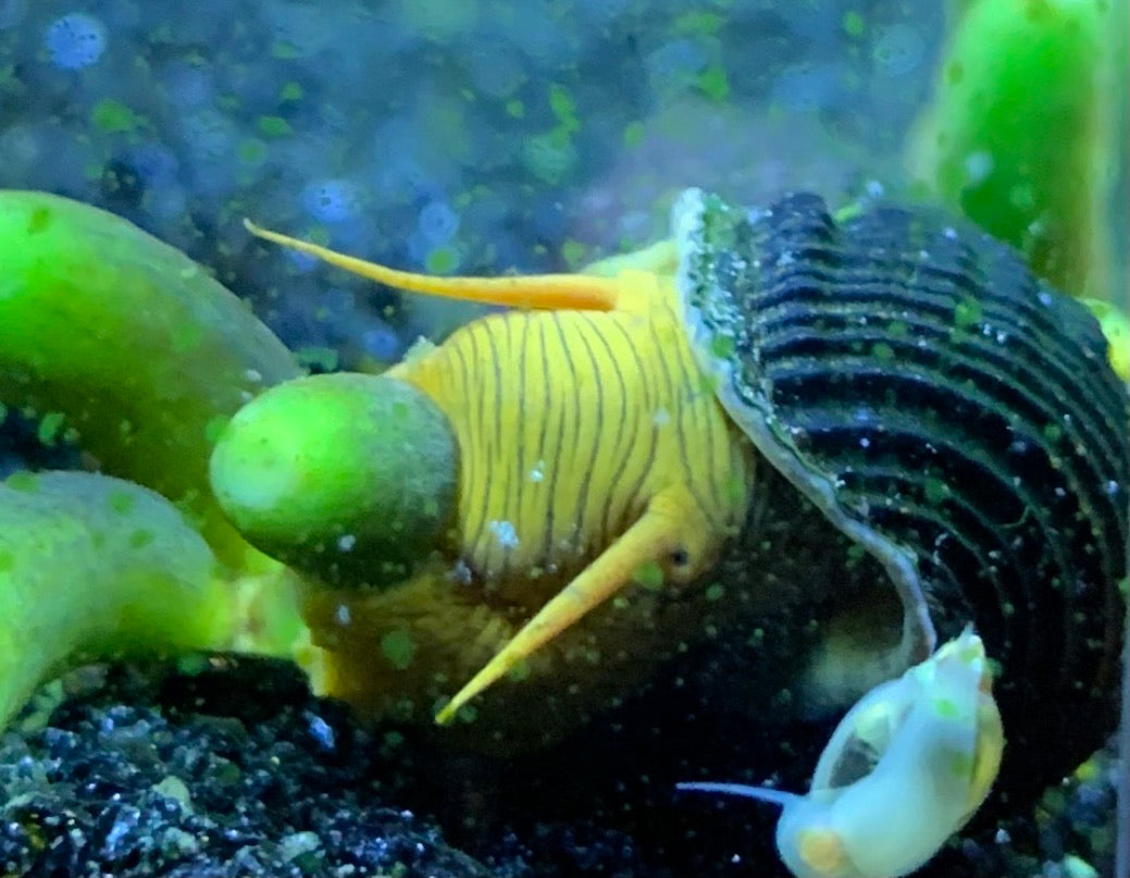 Golden Rabbit Snail
