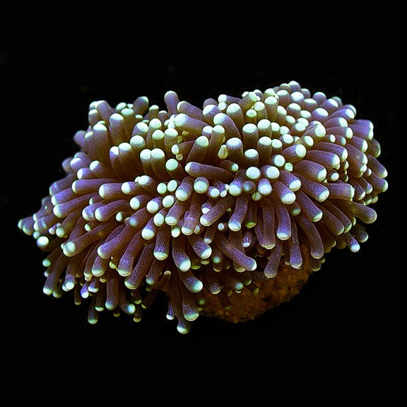 Small Micronesian Torch Coral, Aquacultured ORA