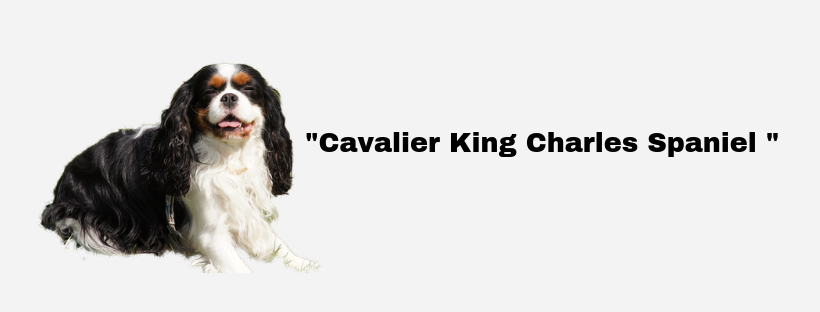 Cavalier King Charles Spaniel mission pet