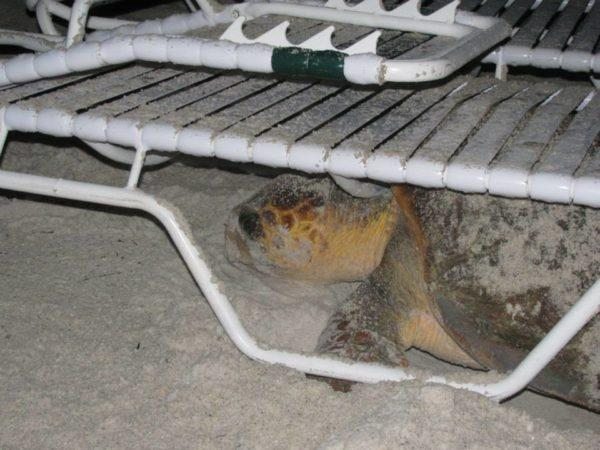Turtle Tuesday -Turtles Can't Hurdle