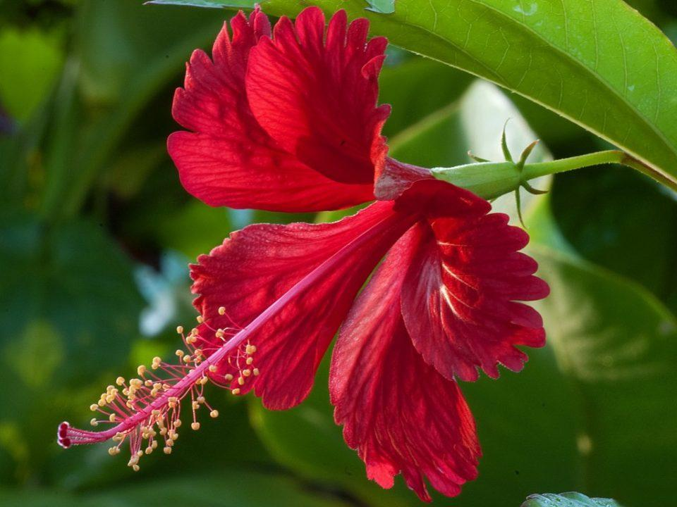 Hibiscus benefits for radiant skin