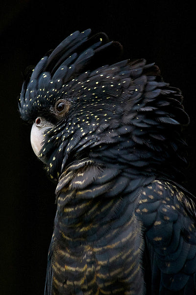 Midnight Black Cockatoo Canvas
