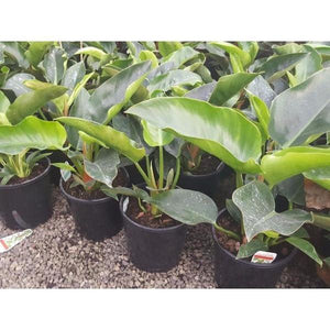Philodendron Congo 200 mm