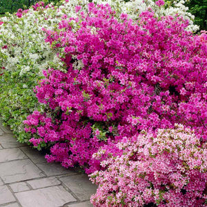 Azalea Mixed 200mm - PlantsToday