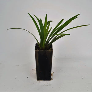 Liriope Samantha — Lilly Turf - PlantsToday