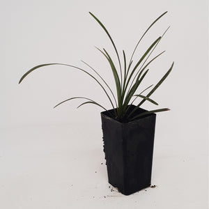 Ophiopogon Nigrescens — Black Dragon / Arabicus / Ebony Knight - PlantsToday