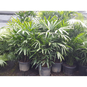 Rhapis excelsa (Lady Palm) 400mm - PlantsToday