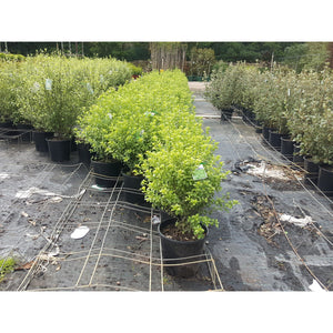 Pittosporum Green Pillar 200mm - PlantsToday
