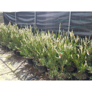 Callistemon Western Glory 250mm - PlantsToday