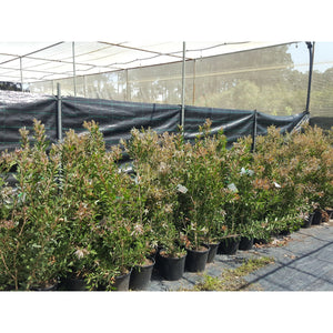 Callistemon Endeavour 250mm - PlantsToday