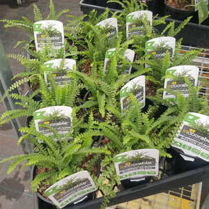 Nephrolepis cordifolia Duffii (Sword Fern) 130mm - PlantsToday