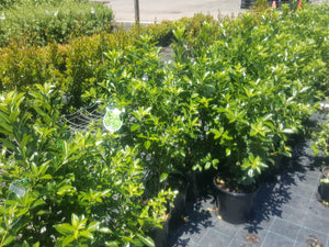 Pittosporum Green Glow 250mm - PlantsToday