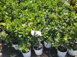 Gardenia True Love 180mm - PlantsToday