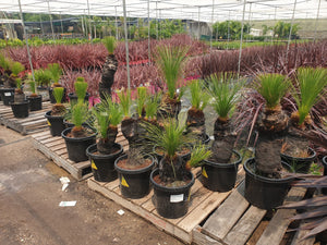 Xanthorrhoea johnsonii FM 41-50cm multi trunk - PlantsToday