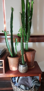 Rustic pot and euphorbia trigona
