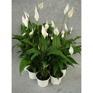 Spathiphyllum (Peace Lily) 130 mm