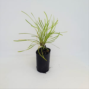 Lomandra Little Con - Mat Rush - PlantsToday