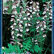 Acanthus Mollis, Bear's breeches - PlantsToday