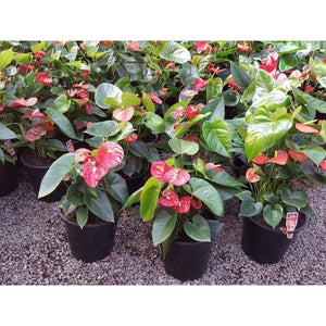 Anthurium andraeanum Mixed (Flamingo Flower) 200mm - PlantsToday