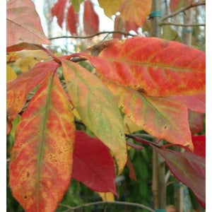 Nyssa Sylvatita -Black Tupelo / Black gum / Sour Gum - PlantsToday