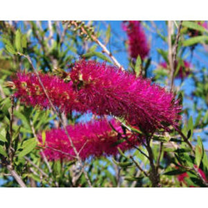 Callistemon Mauve Mist - Callistemon, Bottlebrush - PlantsToday