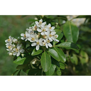 Choisya Tenata - Mexican Orange Blossom, Mexican Orange - PlantsToday