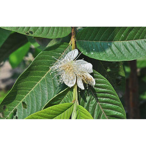 Psidium Guajava - Common guava - PlantsToday