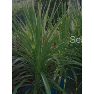 Cordyline Green Magic - Cordyline Australis - PlantsToday
