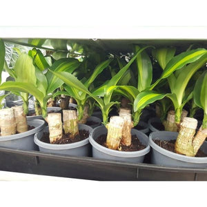 Dracaena fragrans massangeana (Happy Plant) 130mm - PlantsToday