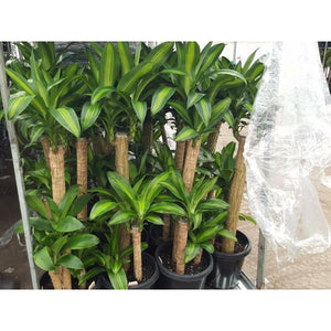 Dracaena fragrans massangeana (Happy Plant) 300mm - PlantsToday