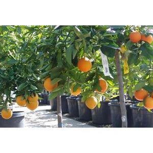 Dwarf Citrus Orange Washington Navel 5L - PlantsToday