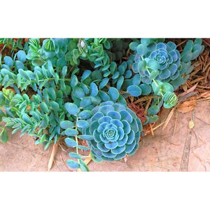 Echeveria Secunda - Blue Echeveria, Hens and Chicks, Old Hens and Chicks, Glaucous Echeveria - PlantsToday