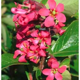 Escallonia Red Knight - Escallonia Red Elf - PlantsToday