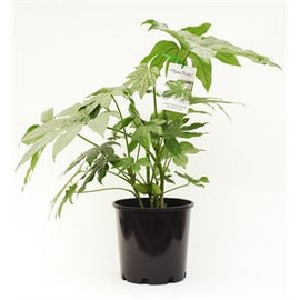 Fatsia 200mm - PlantsToday