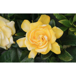 Gardenia Gold Magic - Cape Jasmine 'Golden Magic', Golden Magic Cape Jasmine - PlantsToday