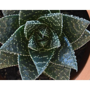 Aloe Golly - Aloe plants online - PlantsToday